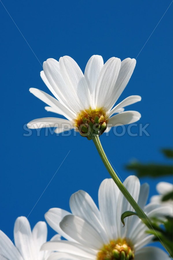 Daisy standing high - Jan Brons Stock Images