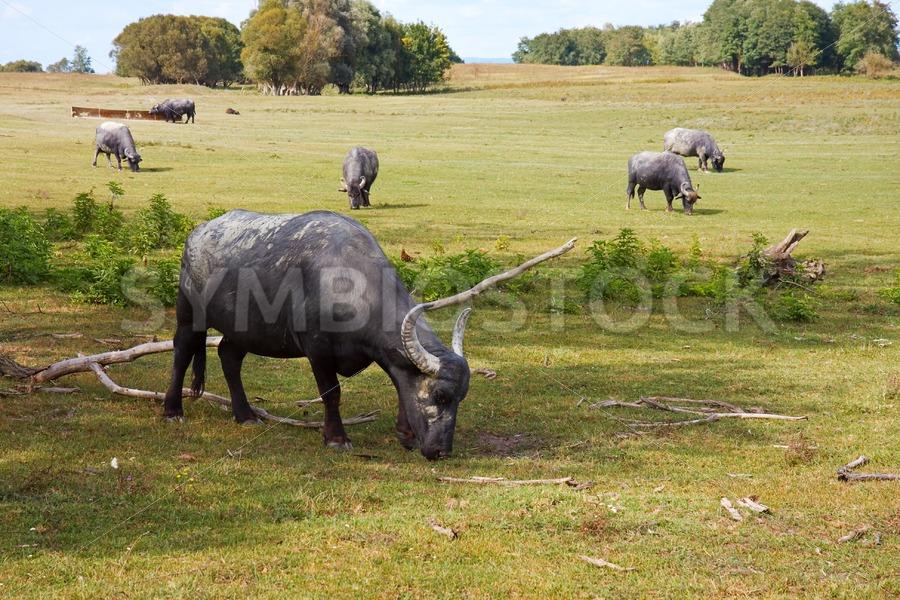 Hungarian buffaloes - Jan Brons Stock Images