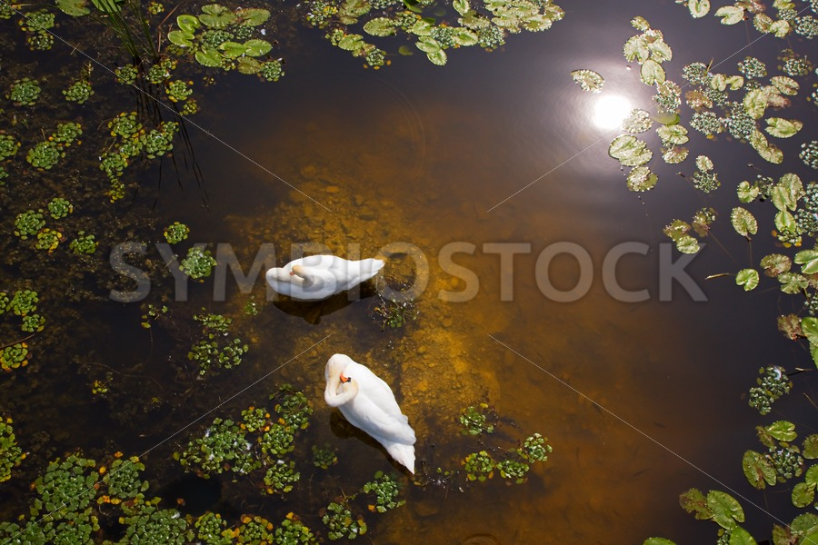 Two swans with sun reflection on shallow water - Jan Brons Stock Images