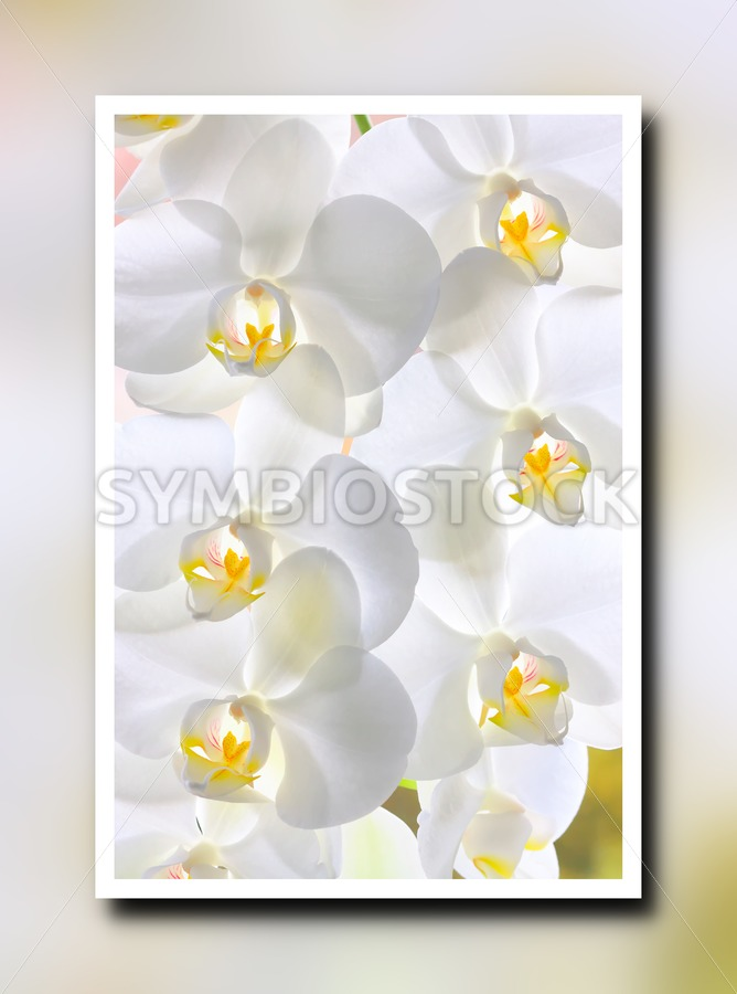 White orchids framed - Jan Brons Stock Images