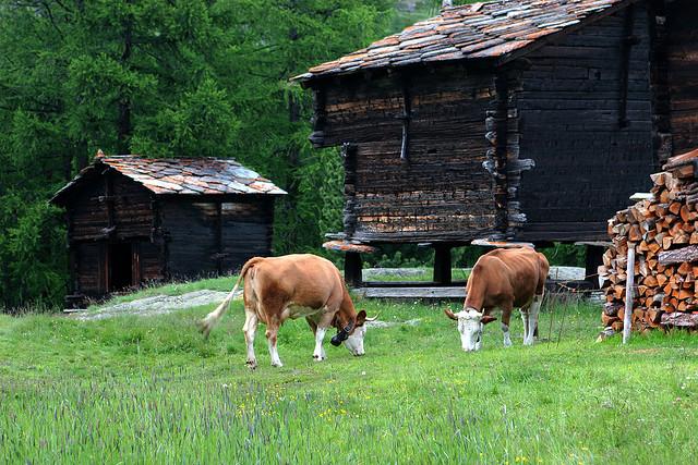Some reasonably happy looking cows.
