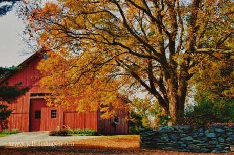 yellow maple over red barn