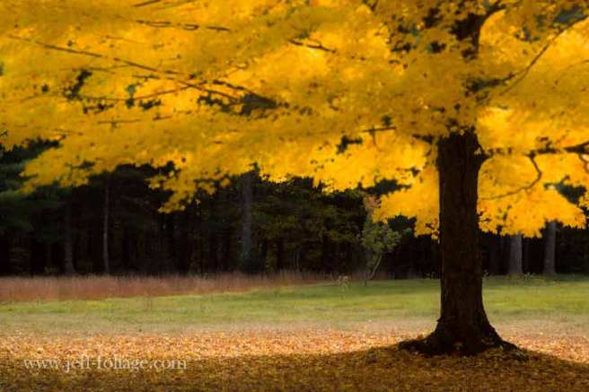 The tree's canopy is fully peak in autumn foliage colors. New England fall foliage in Massachusetts.