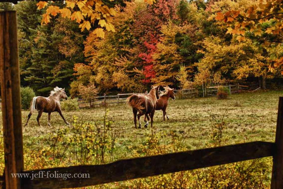 New England fall foliage in Massachusetts. Horses in paddock with autumn colors. A white horse gate