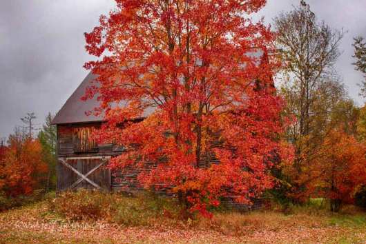 A vermont barn hides behind a big red maple tree