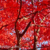 March update to 2015 Foliage Forecast
