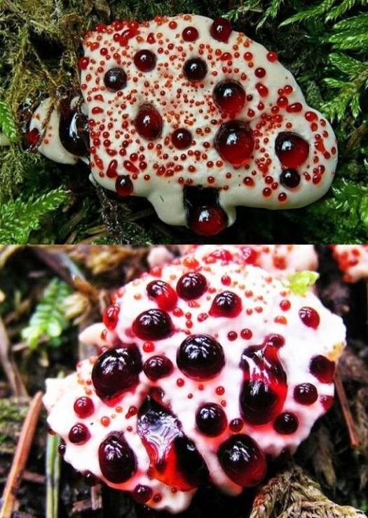 BleedingToothFungus_HydnellumPeckii