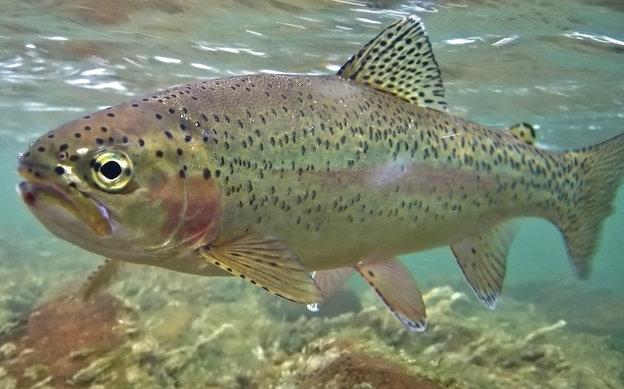 istock-8674833-rainbow-trout-fish_custom-edfcc52e2460e86277f9e72f9ac14cbf6daa2423-s4-c85
