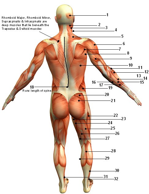 Muscular System Diagram Posterior (Back) View Jen Reviews