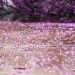 Oklahoma Redbuds, Wisteria Covered in Ice