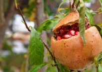 can you grow pomegranates in Oklahoma