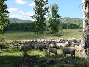 Rosenfeld-sheep-010612