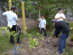 AACE students plant a grapefruit tree at the ranch for Tu B'Shevat. Left to right: Baruch W., Yakov S., Yeshaya F. and Brandon C.