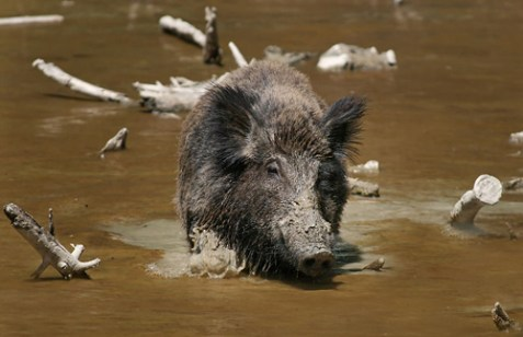 The Wild Boar. Not kosher.