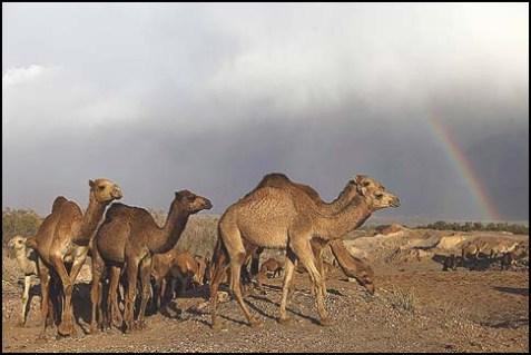 A Flock of Camels