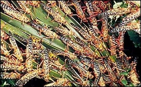 locusts_feeding