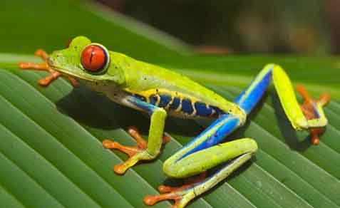 A red eyed tree frog.