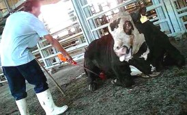 Image taken from plaintiffs' website, which says the calf pictured sustained a broken leg but the Tnuva employee continued to shock it to get it to move.