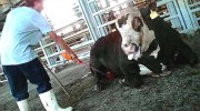 Image taken from plaintiffs&#039; website, which says the calf pictured sustained a broken leg but the Tnuva employee continued to shock it to get it to move.