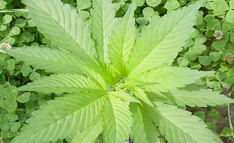 Marijuana has been discovered by a University of Tel Aviv researchers to be able to prevent brain damage