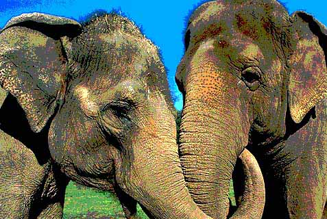 elephant in love