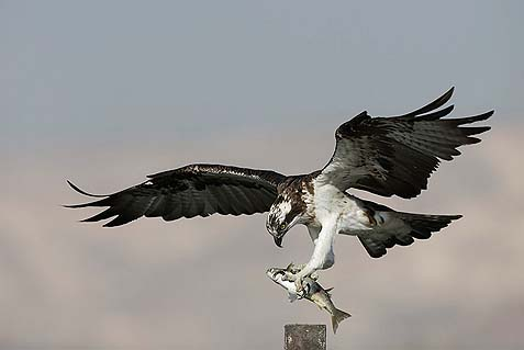 Beit Sh'an Sea Hawk