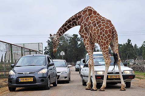 Giraffe in Traffic