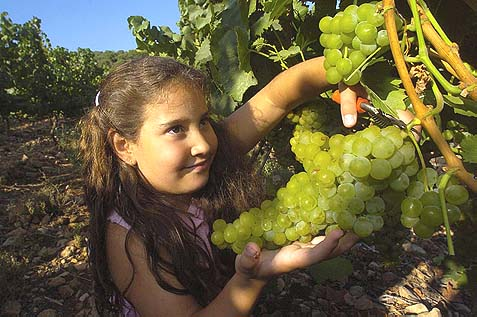 The grape harvest in Ofek Vineyard in Zur Hadassah.