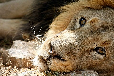 A new lion is due to land in Israel Thursday night and take the place of the Jerusalem Biblical Zoo's former male lion, seen above before dying last summer.