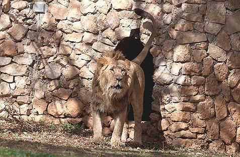 Jerusalem's Newest Lion Is Swedish
