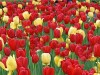 Before the Jews came it was a swampland, now Israel exports more tulips than does Holland.