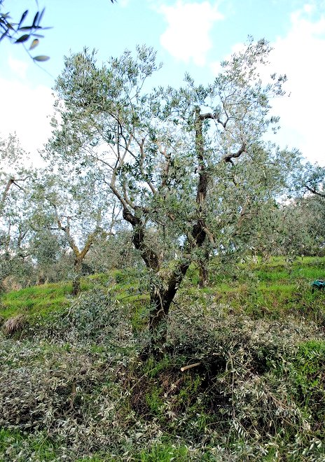 The pruning pile grows as the Italian grower takes us through the pruning process. (Notes from a Tuscan Olive Grove; see link at photo above.)