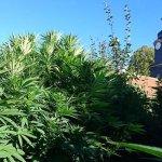 """""""Liegt Klein-Jamaica im SHK?"""" – Die Polizei hat am Mittwoch in Bobeck erneut meterhohe Hanfpflanzen entdeckt"""