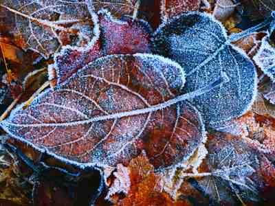 Frosty Fall Leaves Wallpaper Frosted Leaves Jigsaw Puzzle Jigzone Com