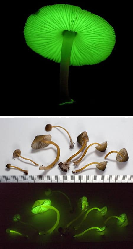 Mycena-lux-coeli-mushrooms