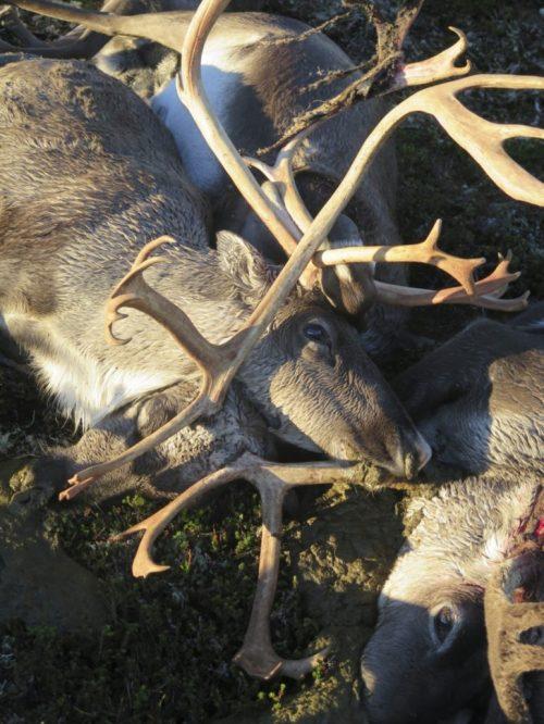 Reindeer_death_Norway_2
