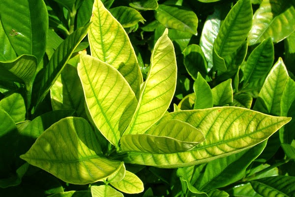 yellowing leaves on citrus