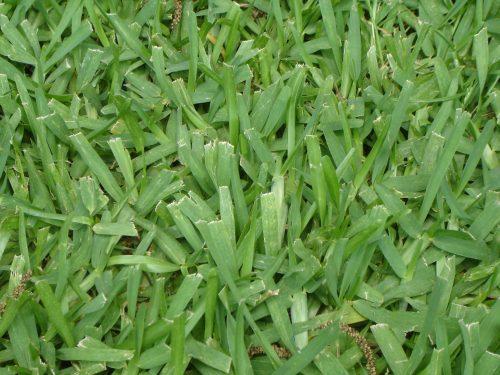 Medium Of Bahia Grass Seed