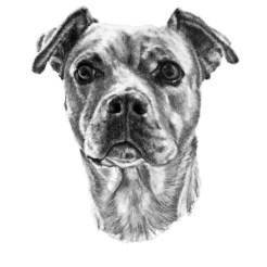 Pet Dog Portrait Drawing 1 by John Gordon