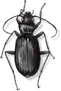 C Nebria rathvani (black)