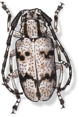 C Synaphaeta guexi