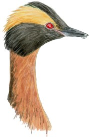 Grebe horned head