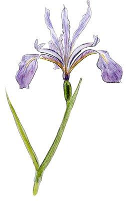Iris hartwegii 2