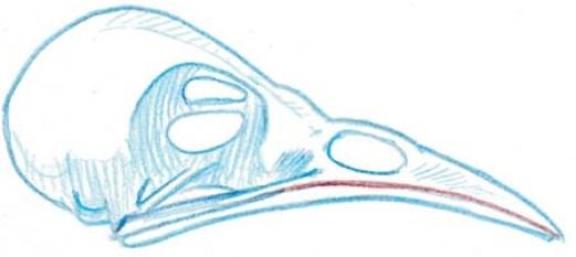 skull wren