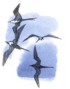 Frigate birds copy