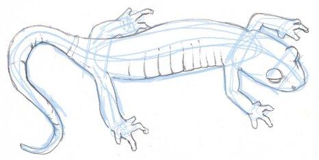 How To Draw A Salamander John Muir Laws