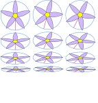 If we foreshorten the rotated flowers we see the same patterns, shorter on the top and bottom, narrower on the sides.