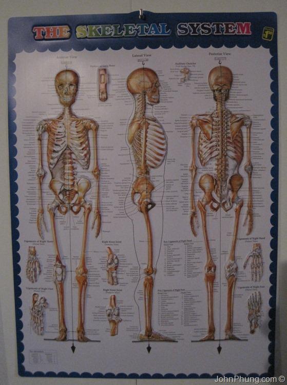 skeletal-system-3D-poster-01