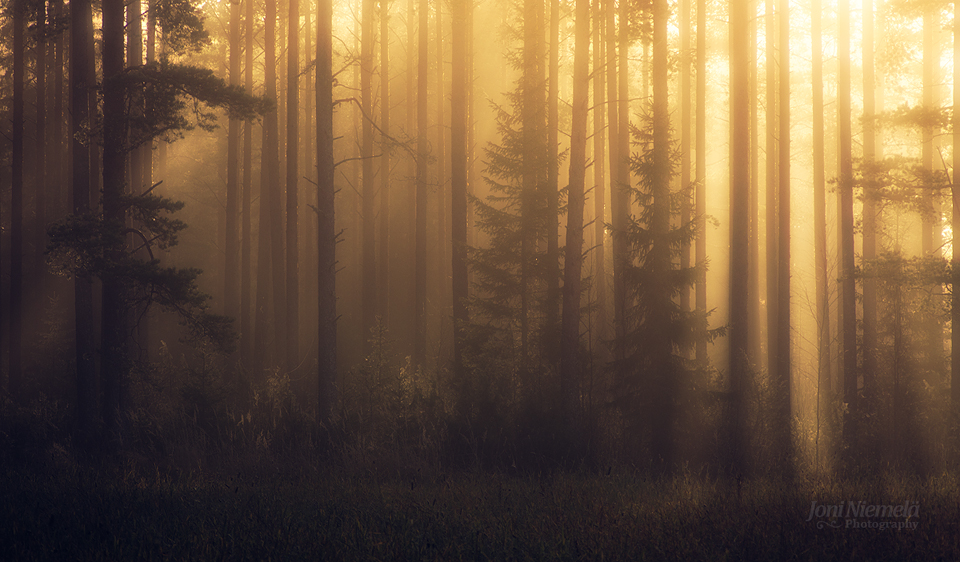 Foggy Fall Wallpaper Foggy Pine Forest Ii 187 Blog 187 Joni Niemel 228 Fine Art