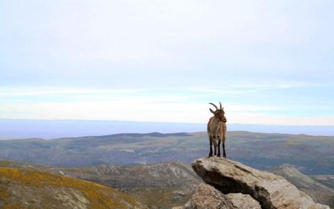 Cabra en la Sierra de Gredos